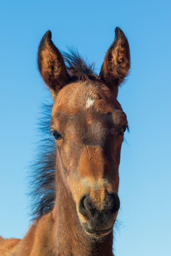 Junger wilder Pferdeportrait stockfotografie