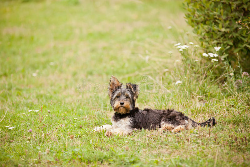 Junger Yorshire-Terrier lizenzfreie stockfotos
