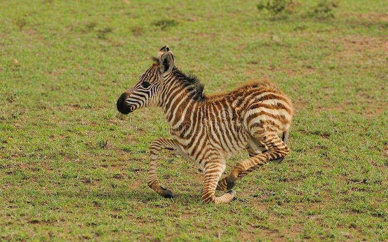 Junger Zebra stockbild