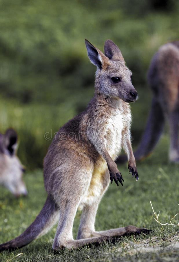 Junges östliches graues Känguru Macropus giganteus stockfoto
