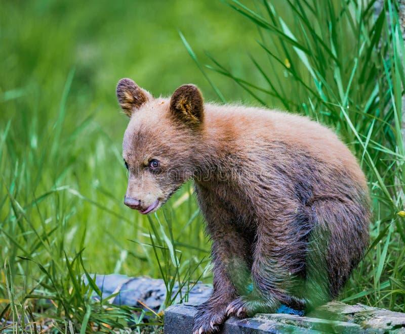 Junges Bärenjunges sitzt auf LOGON-Wald stockfotografie
