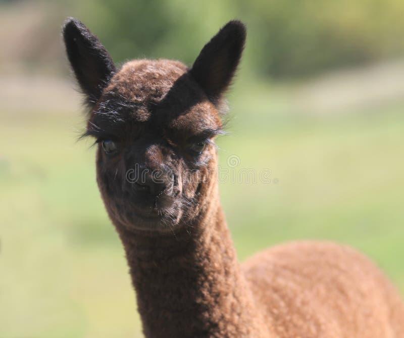 Junges Cria-Alpaka lizenzfreies stockfoto