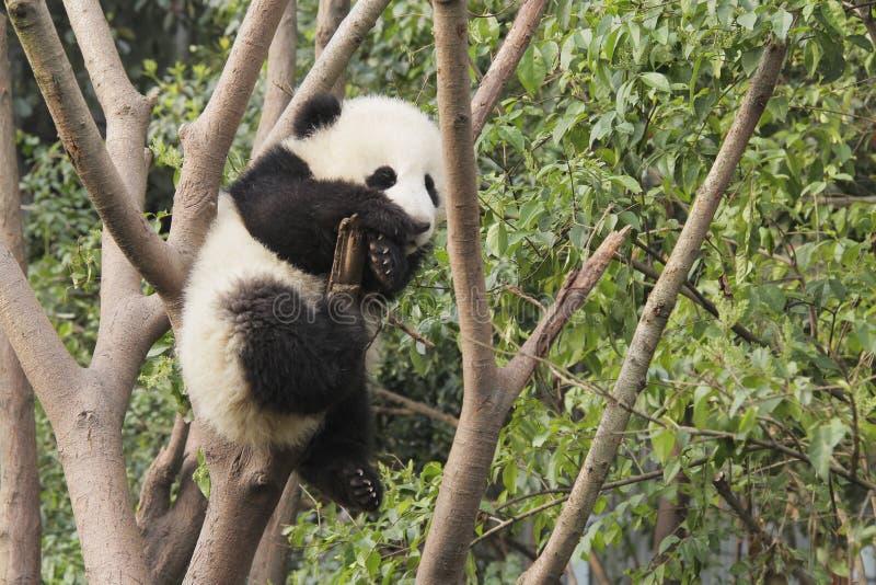 Junges des großen Pandas, das auf dem Baum spielt stockbilder