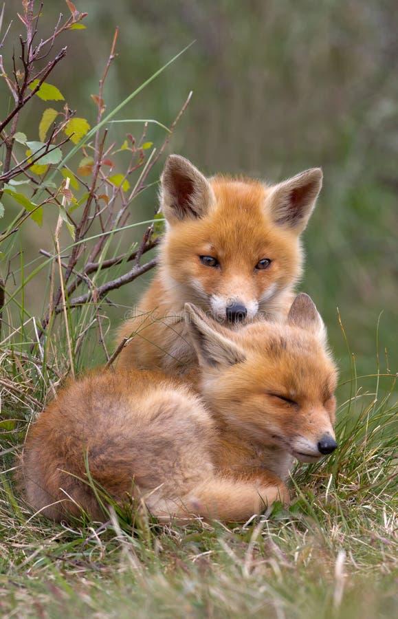 Junges des roten Fuchses stockfotografie