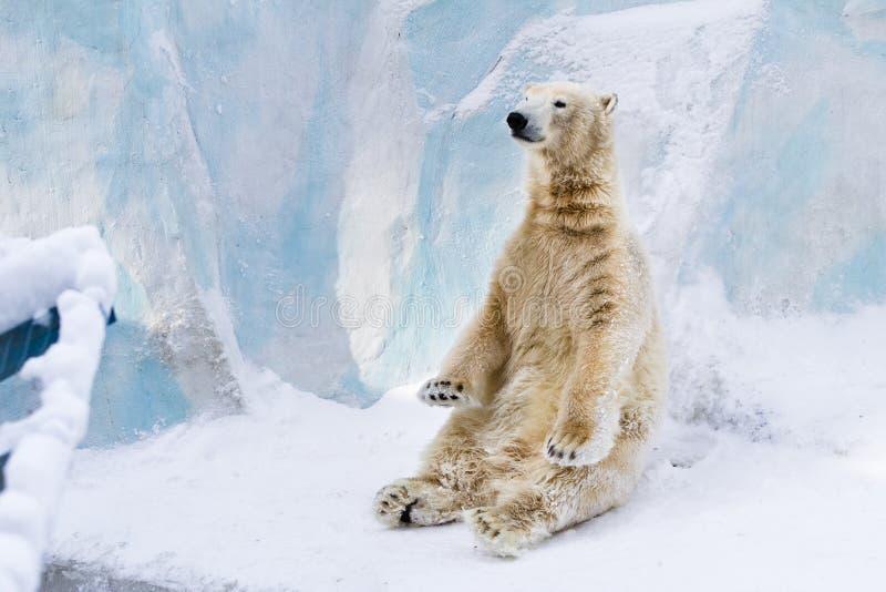 Junges Eisbärsitzen. Sonniger Tag stockbilder