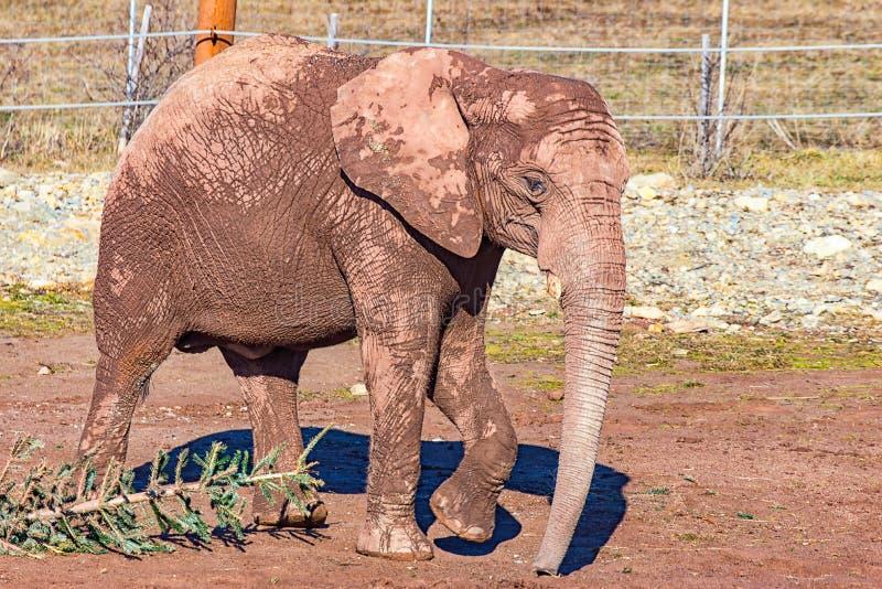 Junges Elefantlaufen langsam lizenzfreie stockfotos