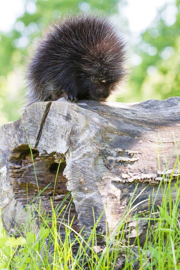 Junges erforschendes Stachelschwein lizenzfreie stockfotografie