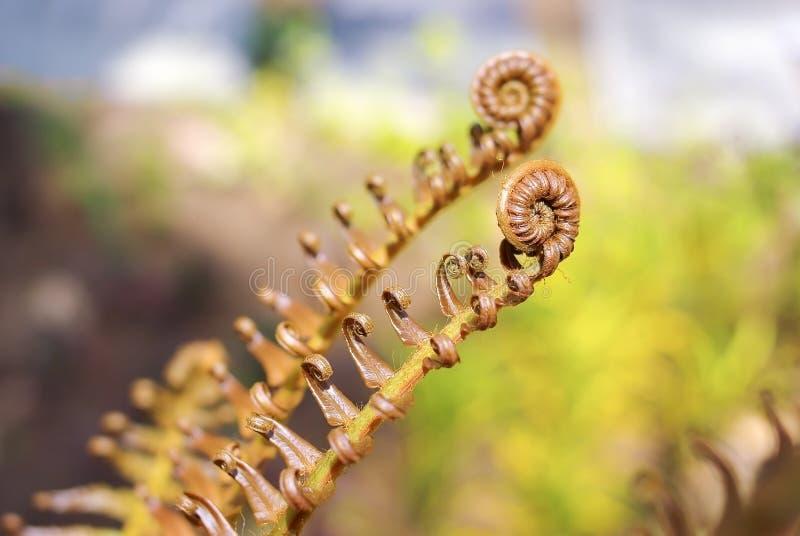 Junges Farnspiralenblatt auf Naturhintergrund stockbild
