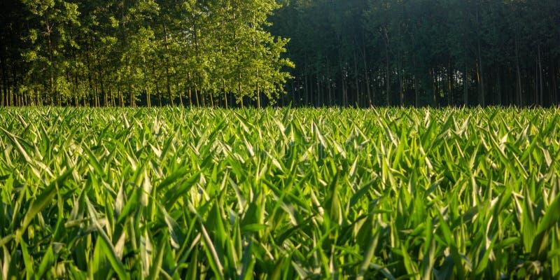 Junges Feld von den Maispflanzen noch klein und unfruchtbar lizenzfreie stockbilder