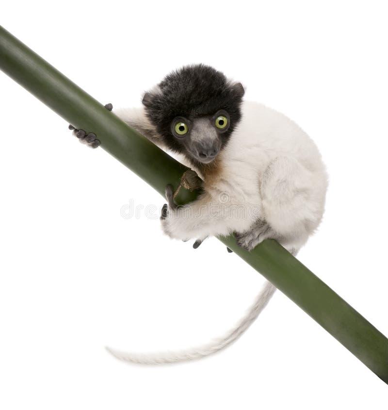 Download Junges Gekröntes Sifaka - Propithecus Coronatus (3 MO Stockfoto - Bild von affe, schuß: 9087004