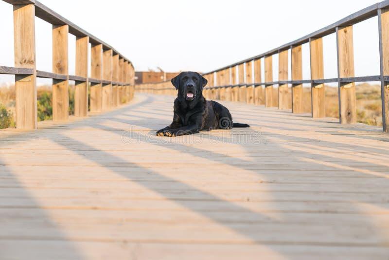 junges glückliches schwarzes Labrador, das auf einer hölzernen Brücke bei Sonnenuntergang sitzt Haustiere drau?en Spa? und Lebens lizenzfreie stockfotografie