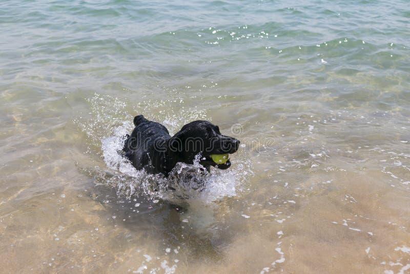 junges glückliches schwarzes Labrador, das Reichweite mit einem Tennisball am Strand spielt Haustiere drau?en Spa? und Lebensstil lizenzfreies stockfoto