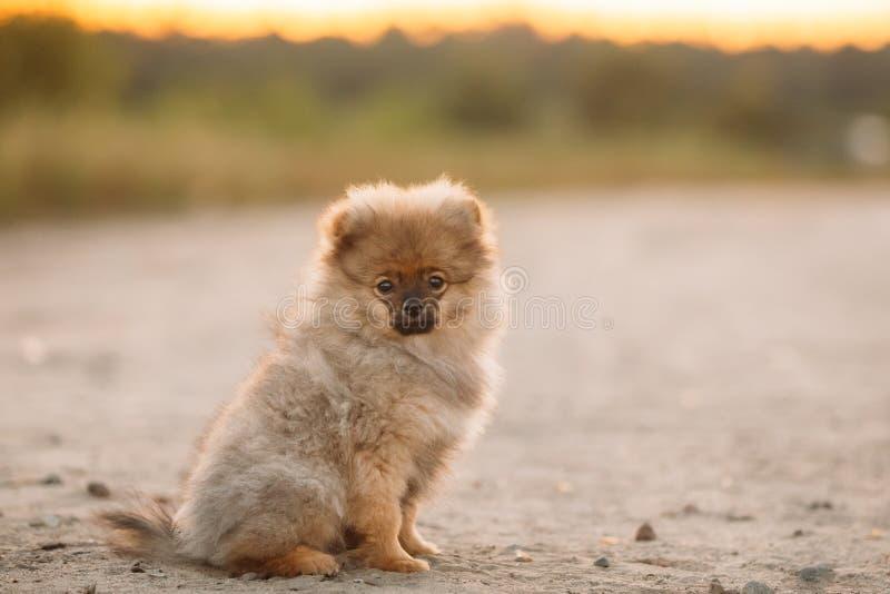 Junges glückliches weißes Welpe Pomeranian-Spitz-Hündchen-Sitzen übertreffen lizenzfreie stockbilder