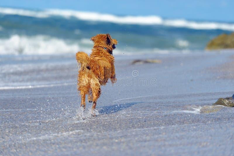 Junges golden retriever auf dem Strand lizenzfreies stockfoto