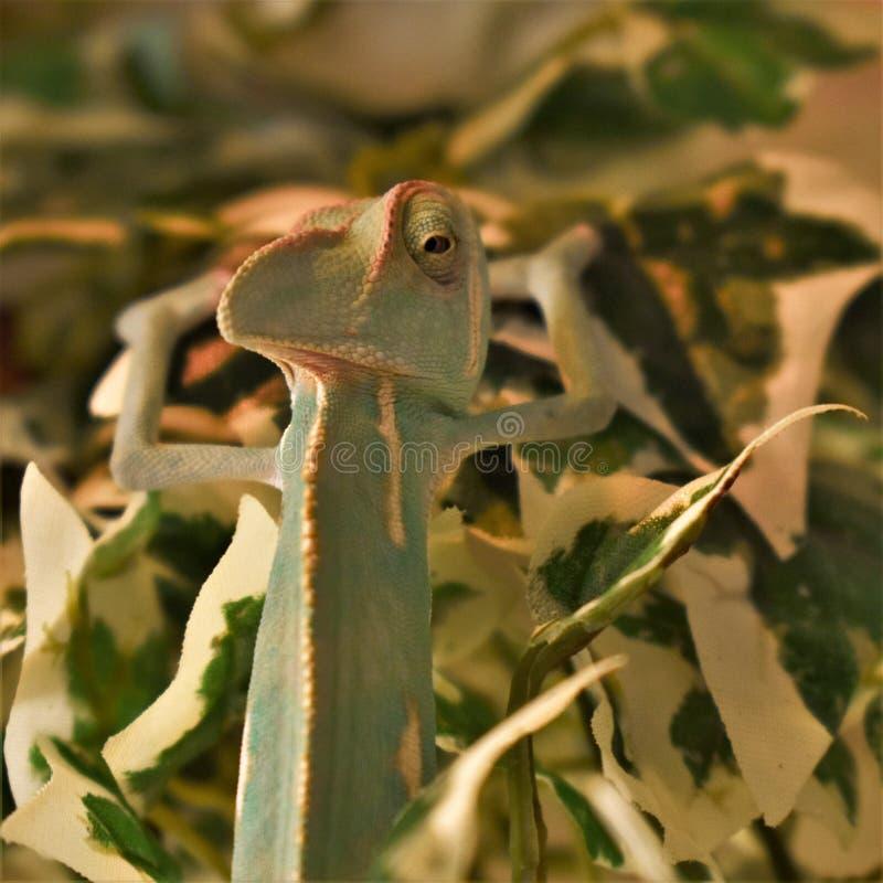 Junges grünes Chamäleon auf Blättern lizenzfreie stockbilder