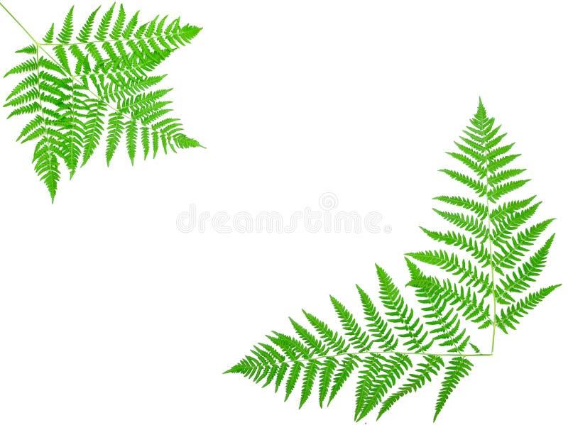 Junges grünes Farnblatt stockfotos
