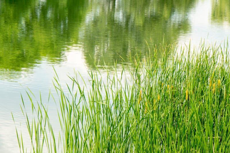 Junges grünes Schilf auf dem Hintergrund des Reservoirs lizenzfreie stockfotografie