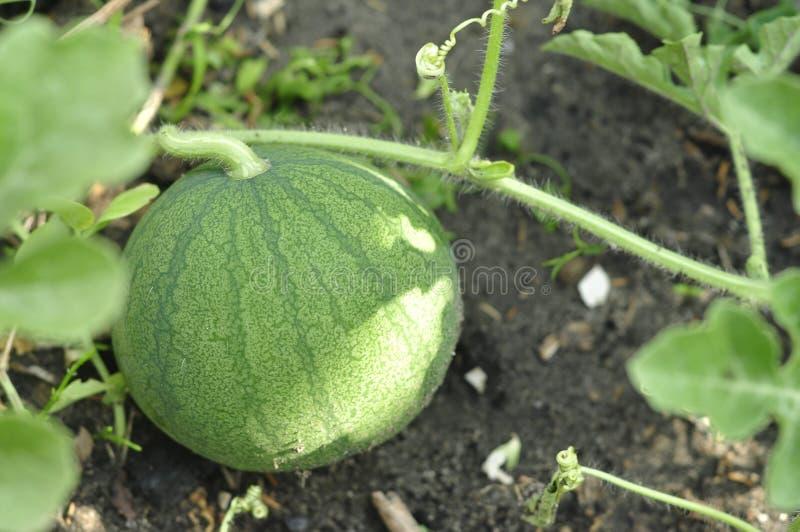 Junges grünes Wassermelonenhaus, das umweltfreundlich und gesund wächst lizenzfreies stockbild