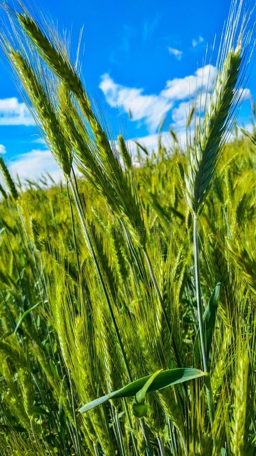 Junges grünes Weizenfeld gegen den blauen Himmel lizenzfreie stockfotografie