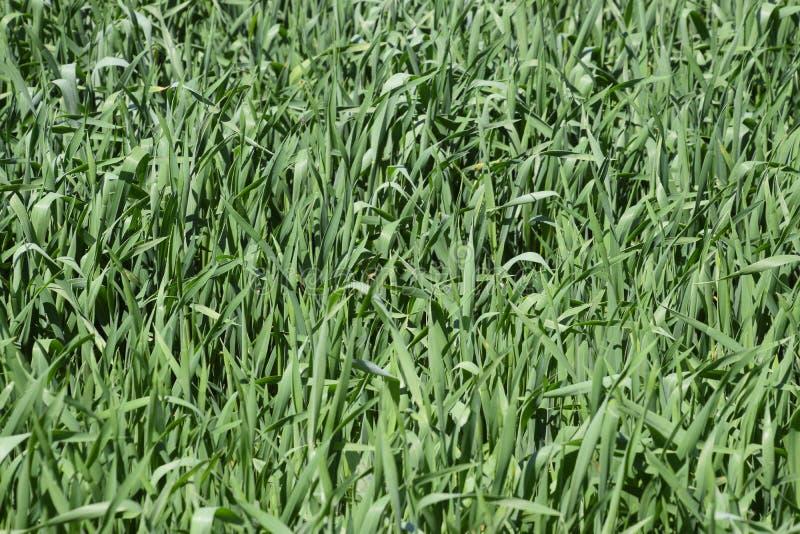 Junges gr?nes Weizen-Feld lizenzfreie stockbilder