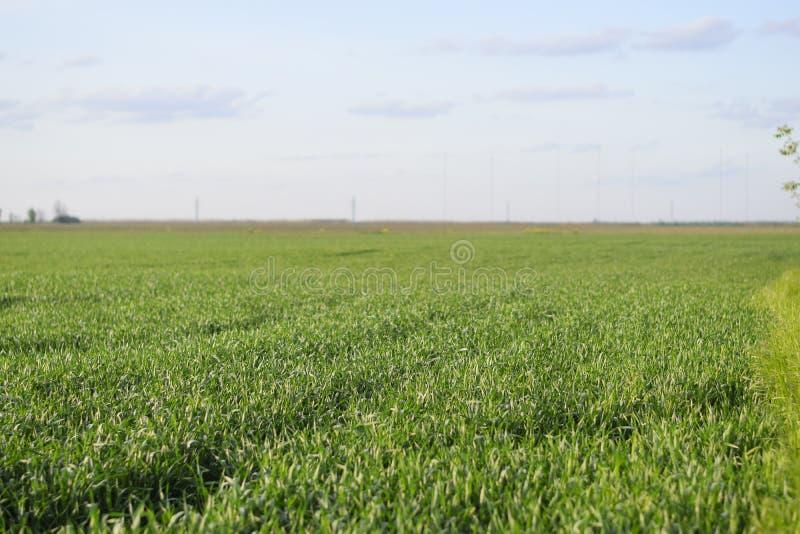 Junges gr?nes Weizen-Feld lizenzfreie stockfotos