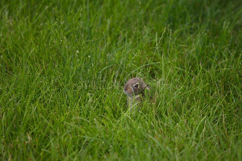Junges Häschen, das im hohen Gras sich versteckt lizenzfreie stockfotos