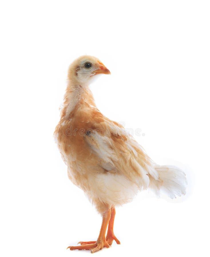 Junges Hühnerdouble auf Weiß lizenzfreie stockfotografie