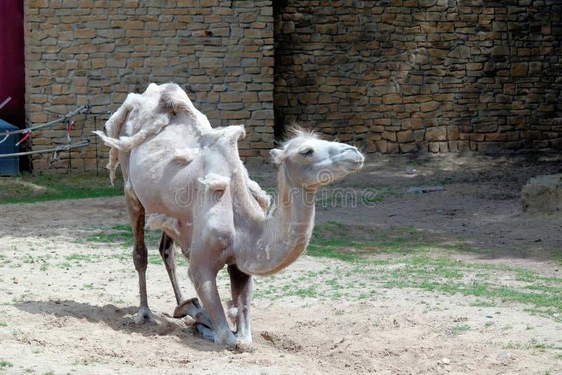 Junges Kamel stockfotos
