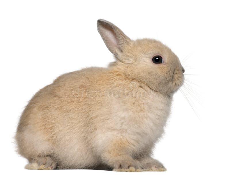 Junges Kaninchen, sitzend vor weißem Hintergrund stockfotografie