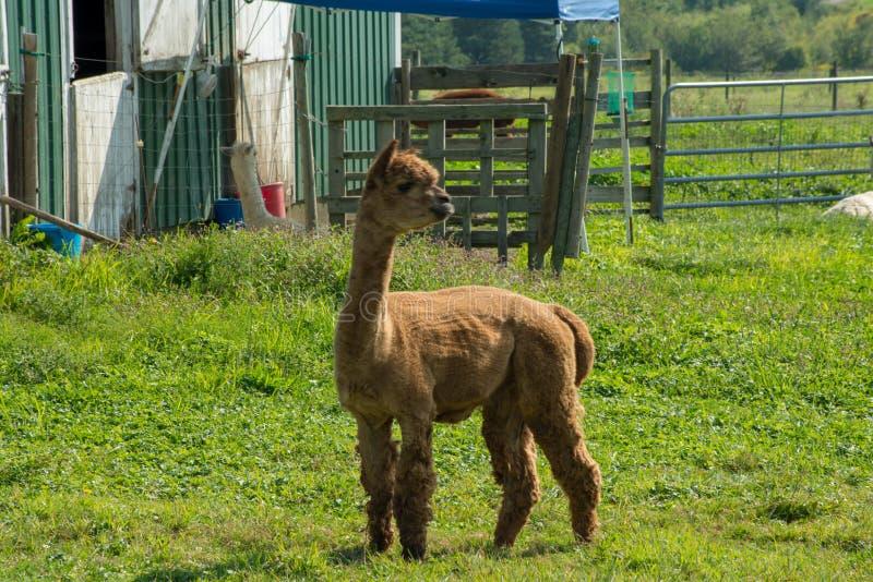 Junges Lama außerhalb der Scheune stockfoto