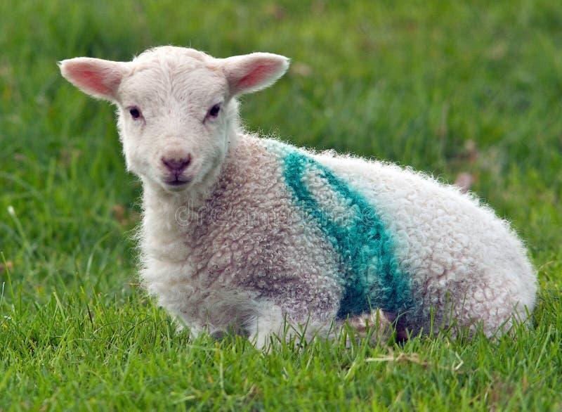 Junges Lamm stockbilder
