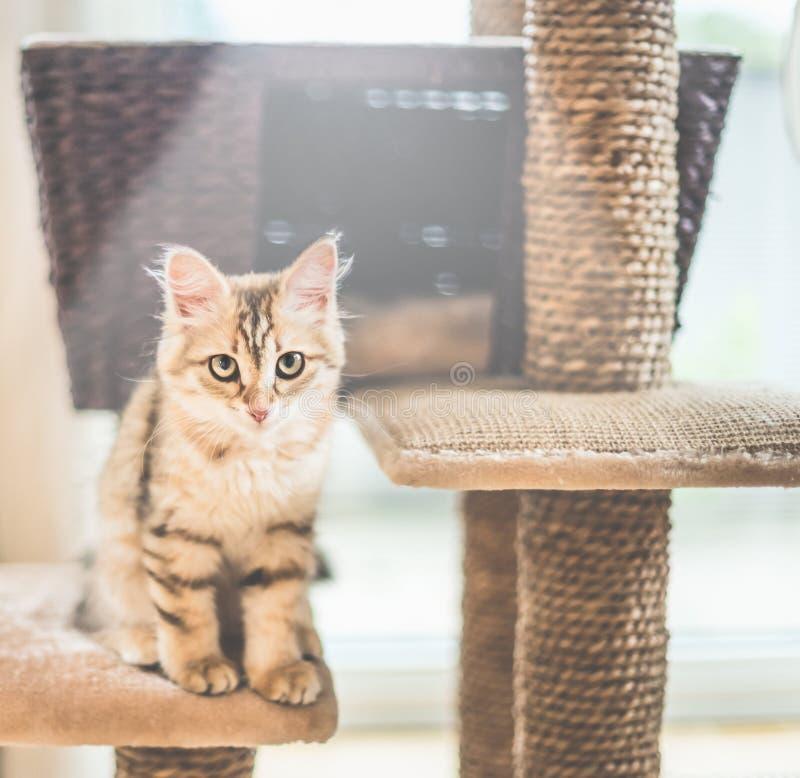 Junges lustiges rotes Kätzchen sitzt auf Katzenbaum Reinrassige sibirische Katze Katze, die Kamera betrachtet stockbild