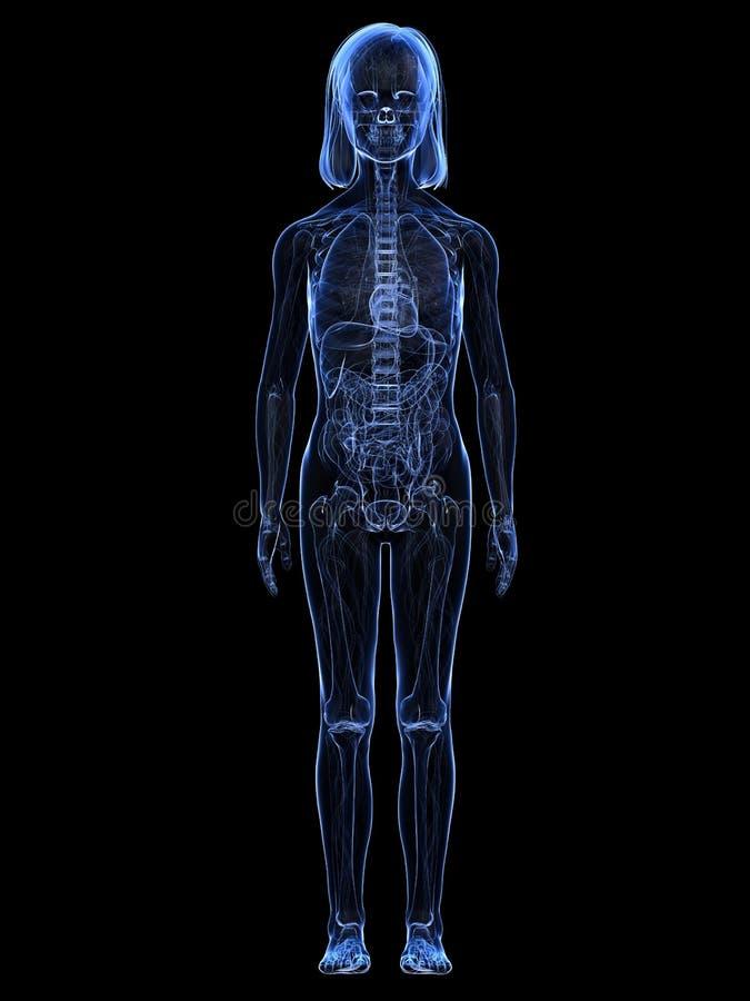 Junges Mädchen - Anatomie stock abbildung. Illustration von anatomie ...