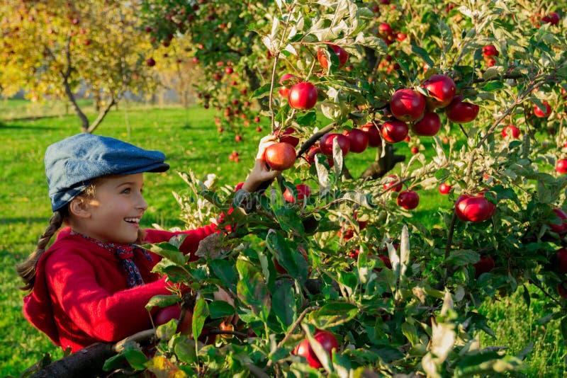Junges Mädchen, das organische Äpfel in das Basket.Orchard auswählt. lizenzfreie stockbilder