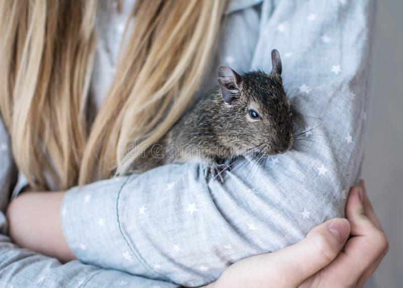 Junges Mädchen mit dem langen Haar und gekleidetem blauem Hemd spielt mit kleinem tierischem gemeinem degu Eichhörnchen Nahaufnah stockfoto