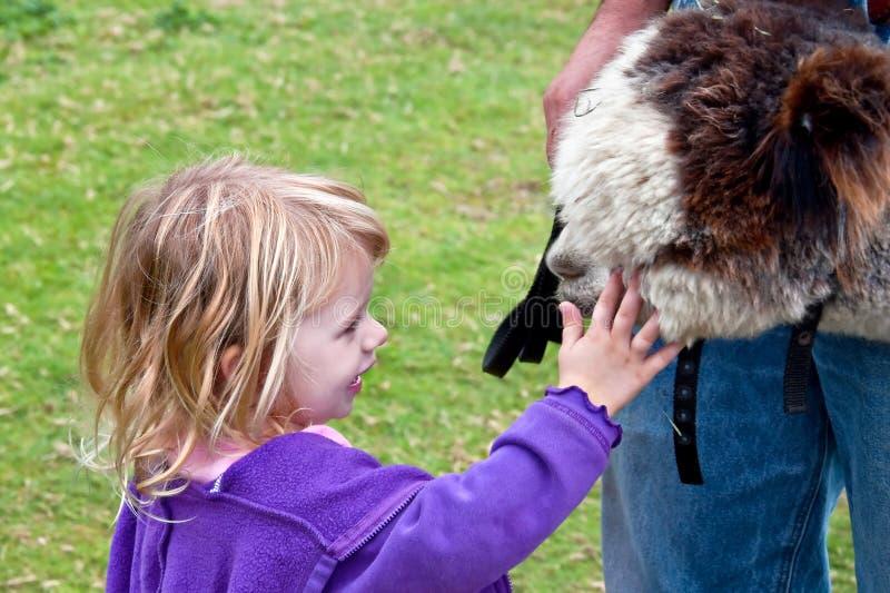 Junges Mädchen Pets Huacaya Alpaka stockbild
