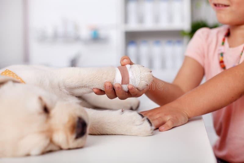 Junges Mädchen, welches die verbundene Tatze ihres netten Labrador-Welpen d hält lizenzfreie stockfotos