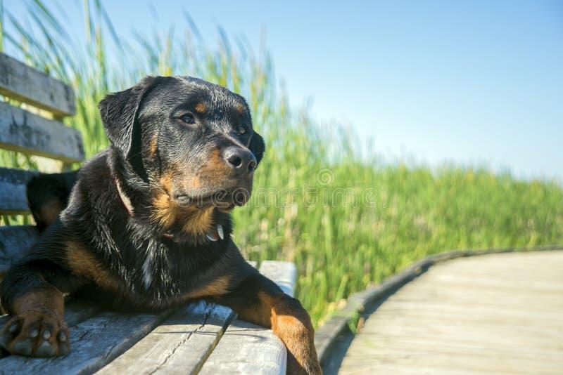 Junges männliches rottweiler, das draußen sitzt lizenzfreie stockfotografie