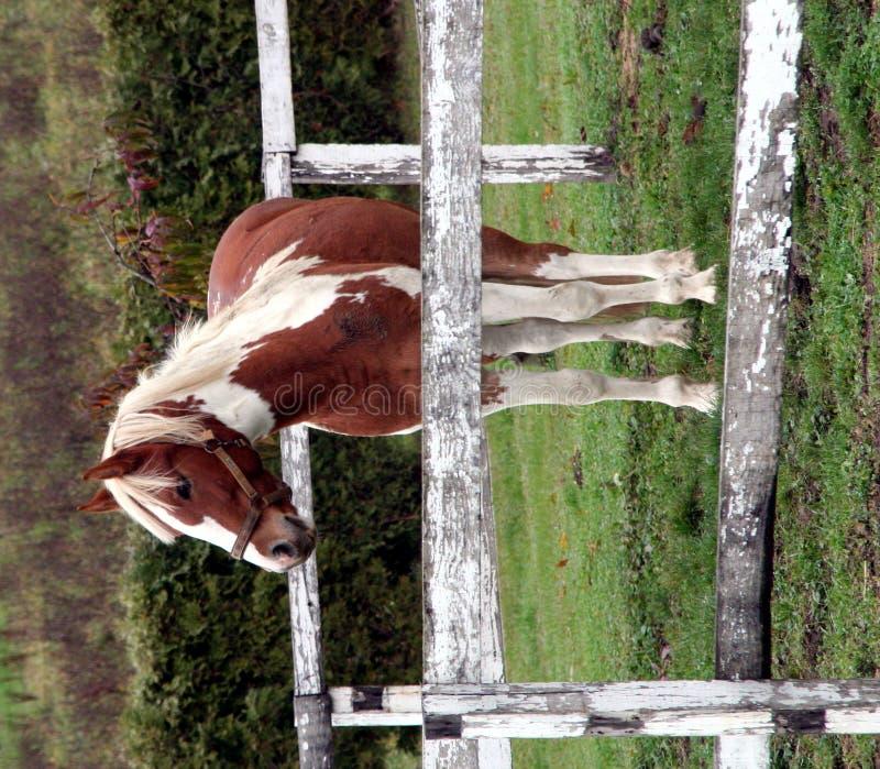 Junges Pferd auf dem Bauernhof lizenzfreie stockfotos