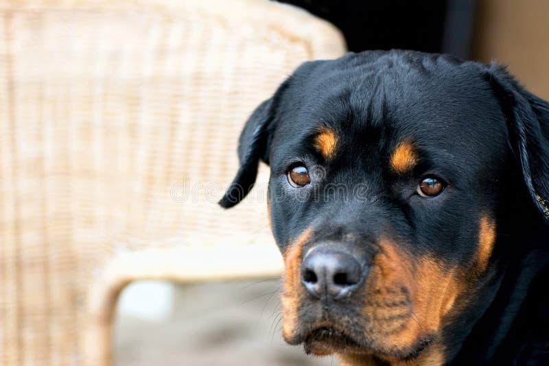 Junges Rottweiler-Zuchthundenahaufnahmeporträt eines Kopfes stockfotos