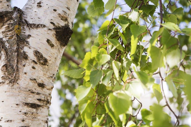 Junges saftiges Grün verlässt auf den Niederlassungen einer Birke im Sommer-Nahaufnahmemakro der Sonne draußen im Frühjahr auf de lizenzfreie stockfotografie