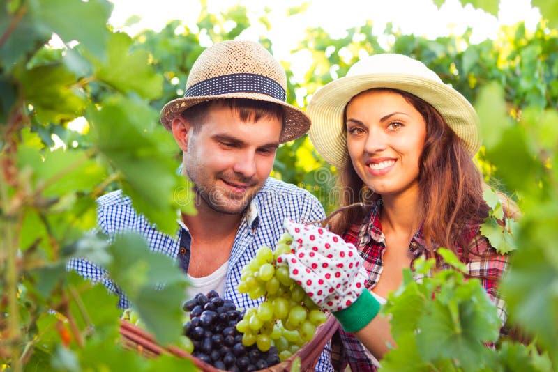 Junges schönes Paar erntet eine Traubenernte stockfoto