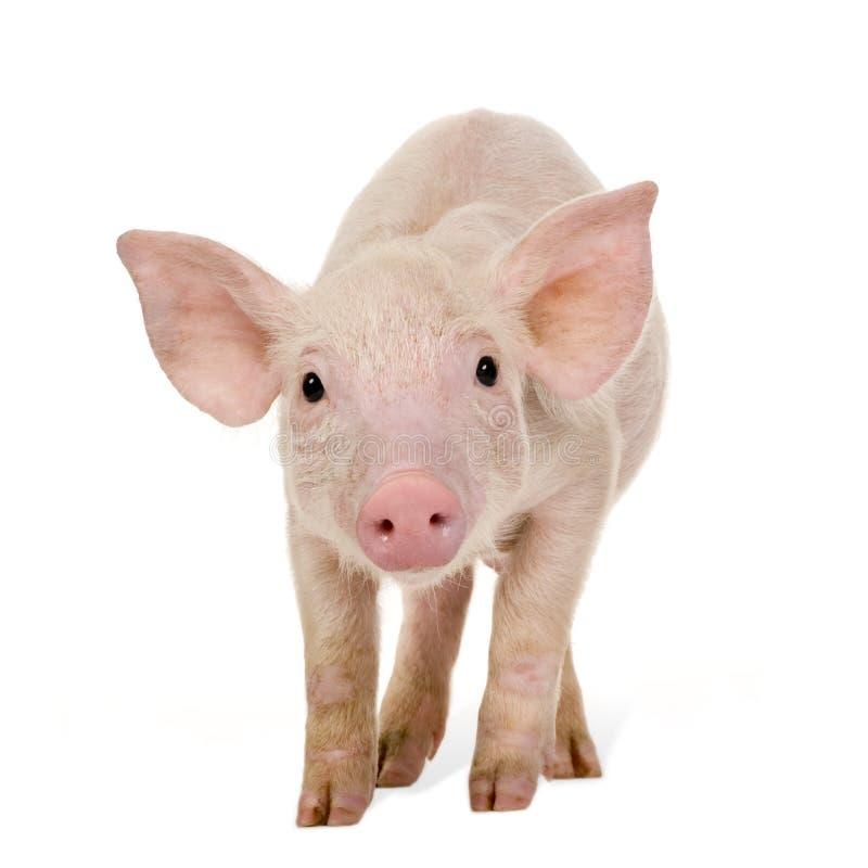 Junges Schwein (+-1 Monat) stockfotografie