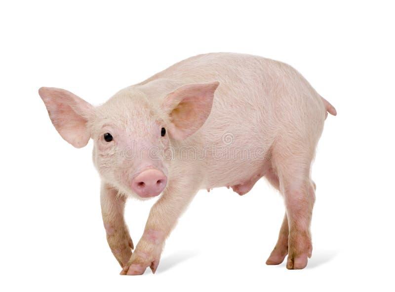 Junges Schwein (+-1 Monat) stockfotos
