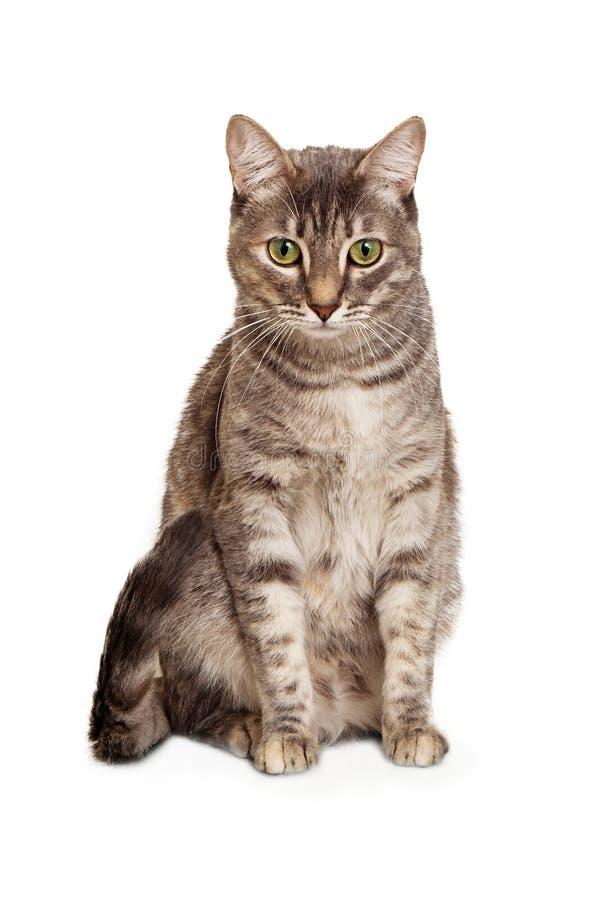 Junges sitzendes unten schauen der Katze der getigerten Katze lizenzfreie stockbilder