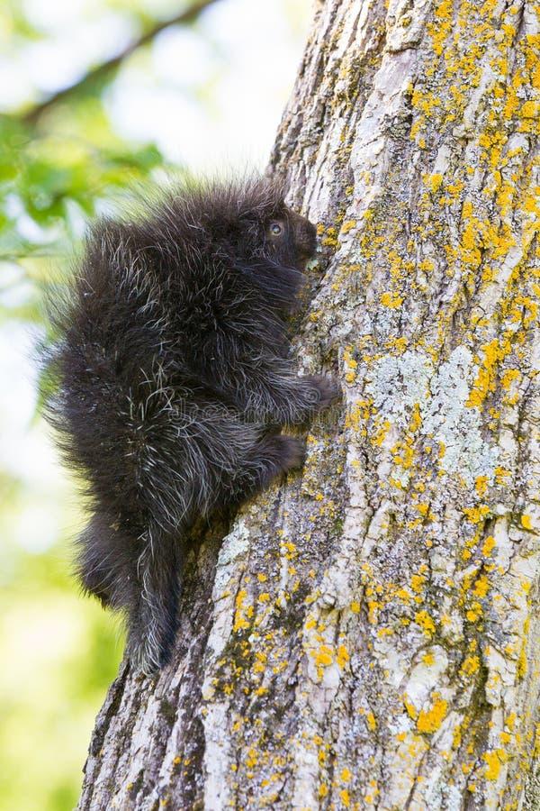 Junges Stachelschweinbaby, das oben Baum klettert lizenzfreie stockfotos