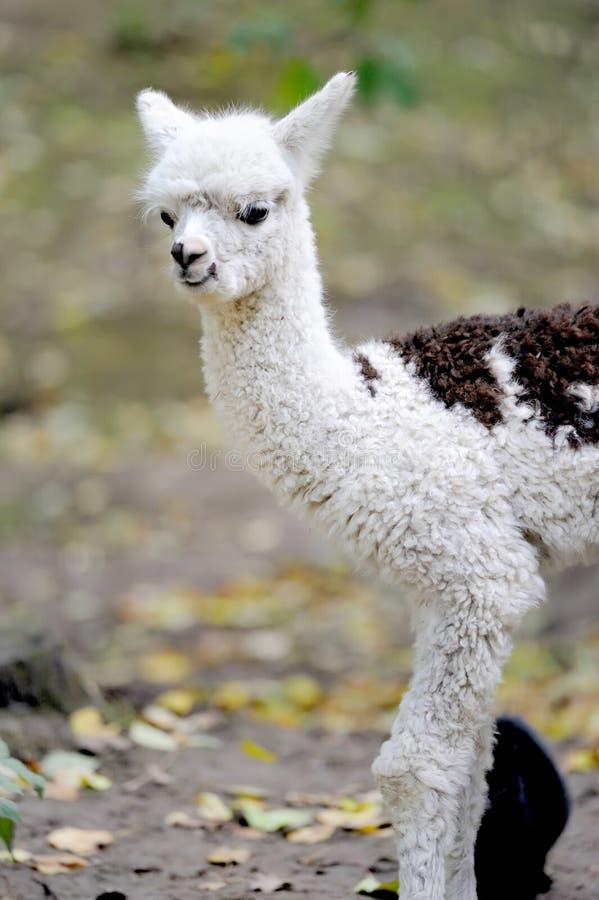 Junges weißes Alpaka lizenzfreie stockfotografie
