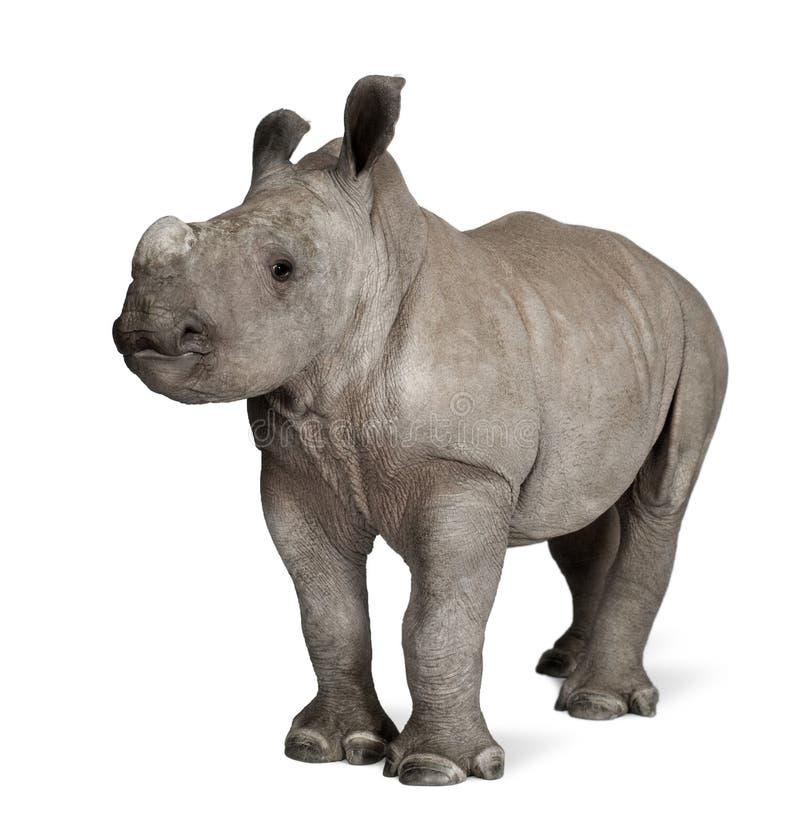 Junges weißes Nashorn gegen weißen Hintergrund stockfotografie
