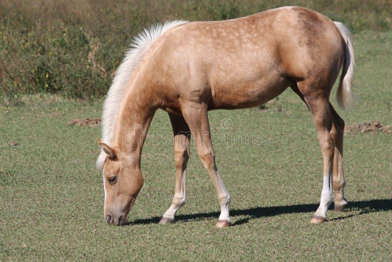 Junges weiden lassendes Pferd stockfoto