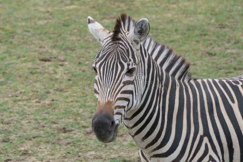 Junges Zebra, das herum in der Wildnis steht lizenzfreies stockbild